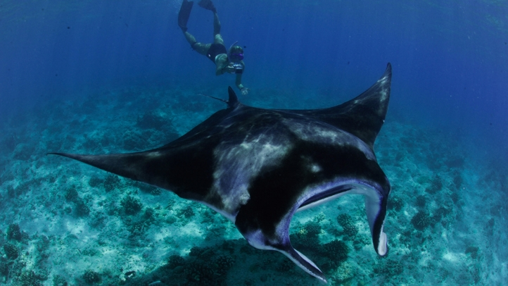 Four Seasons Explorer Announces 2018 Manta Trust Expeditions in the Maldives