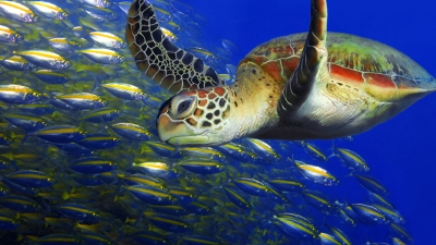 Sea Turtle Conservation Weekend at Four Seasons Nevis